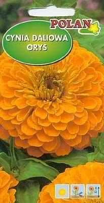Cynia daliowa Orys pomarańczowa 1g Polan